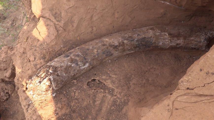 В Донецкой области обнаружены останки доисторического мамонта  (ФОТО), фото-2