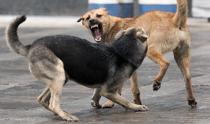 Як звільнити Білу Церкву від безпритульних собак?, фото-1
