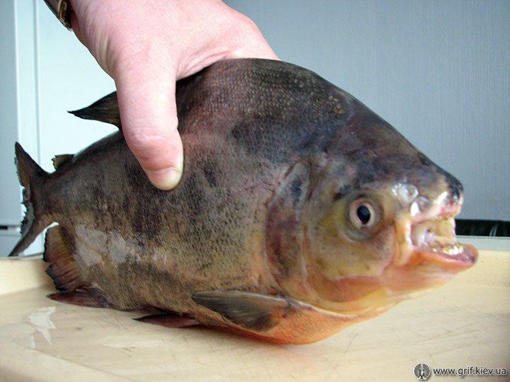 Рибу з людськими зубами зловили у Білій Церкві (фото), фото-1