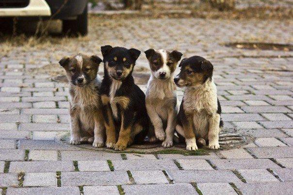 Як звільнити Білу Церкву від безпритульних собак?, фото-2