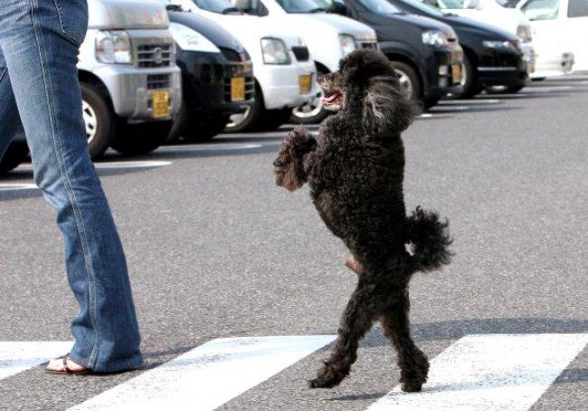 ФОТО: Собаки, що ходять, як люди, фото-7