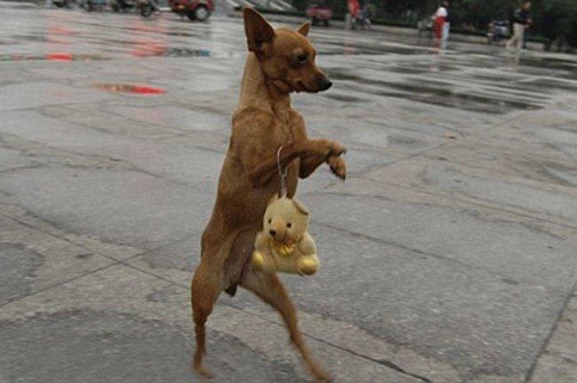 ФОТО: Собаки, що ходять, як люди, фото-9