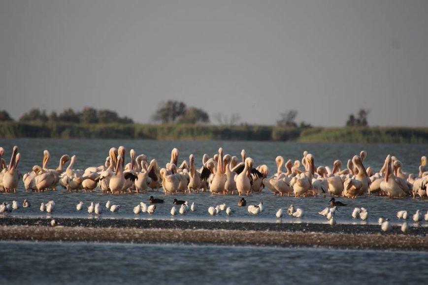 Браконьеры наступают: В Одесской области в заповедной зоне уничтожают пеликанов (ФОТО), фото-2