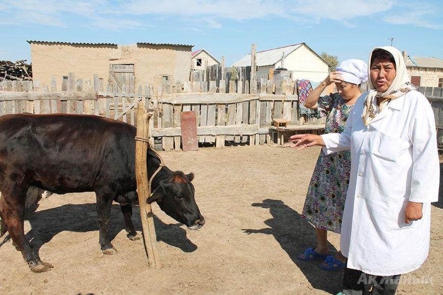 корова2