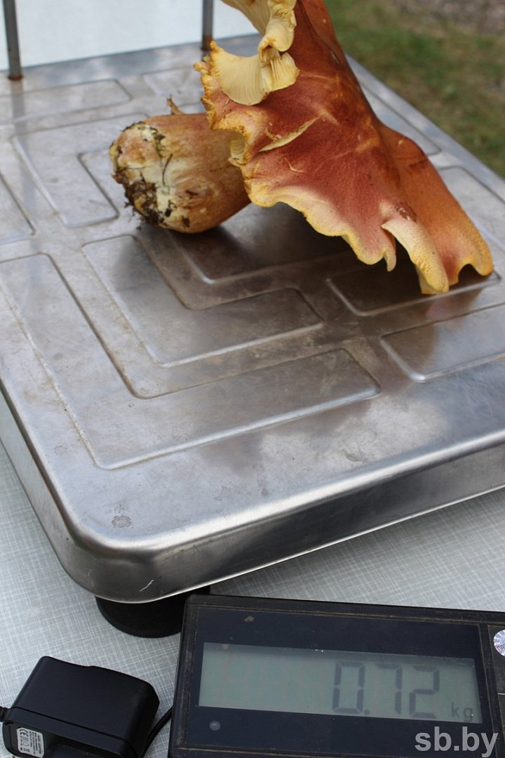 Пять тонн грибов собрали участники чемпионата под Полоцком. Фоторепортаж, фото-3