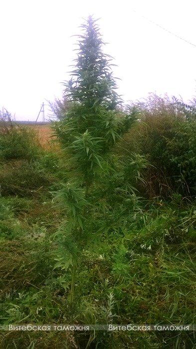 В Витебском районе ликвидировано производство марихуаны, фото-1
