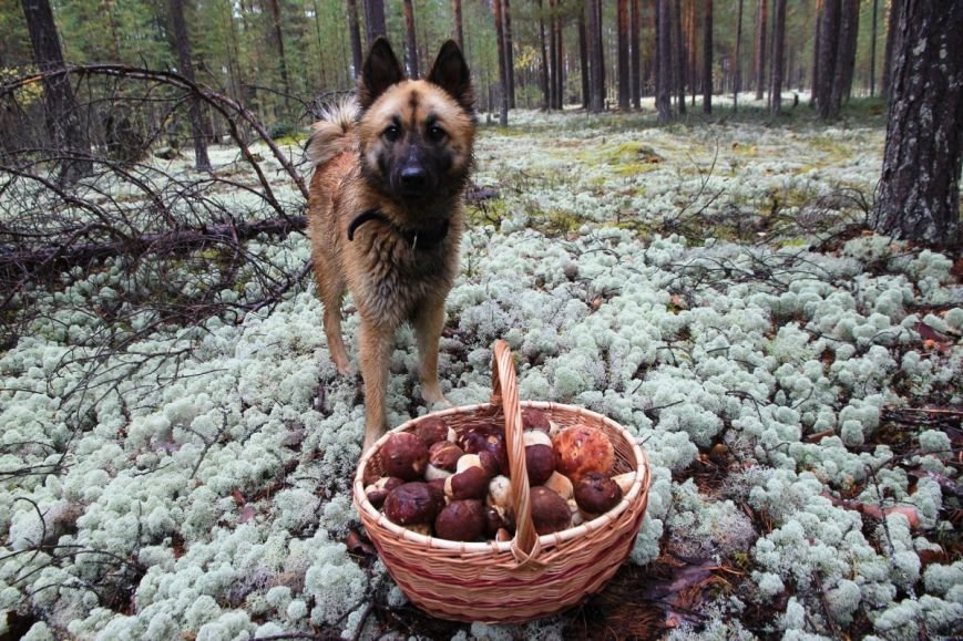 Сыктывкарцам далеко за грибами ходить не надо, фото-1