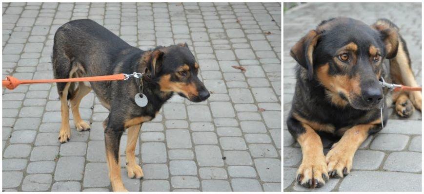 «Вони чекають на тебе в ЛКП «Лев »: 7 собак, які цього тижня шукають господаря (ФОТО), фото-2