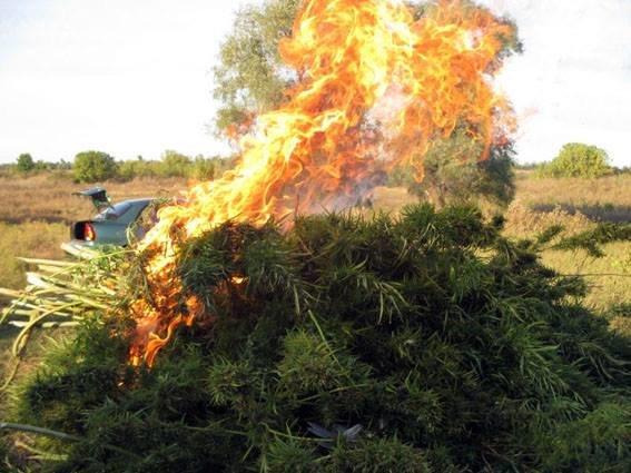 За последние сутки в Донецкой области уничтожено более 1200 кустов конопли, фото-2