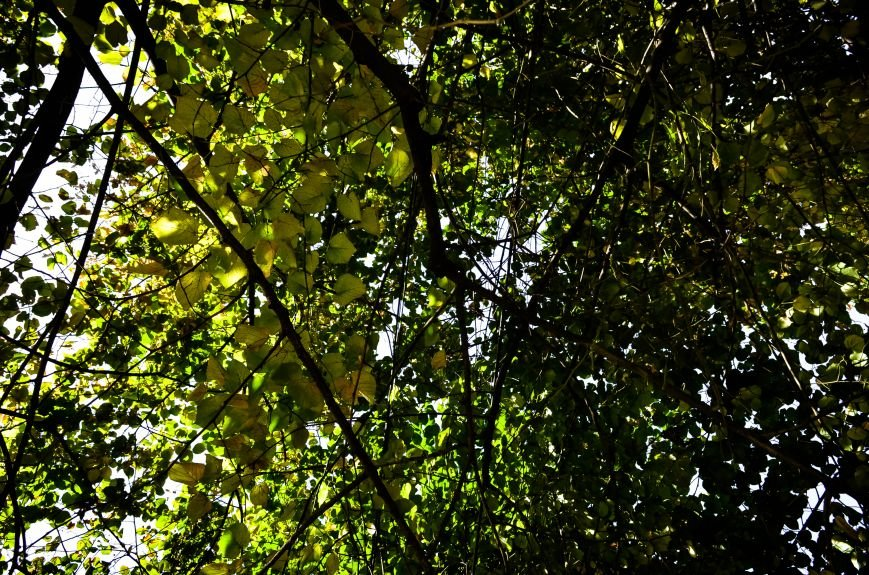 Осенние деревья в крымской столице (ФОТО), фото-2