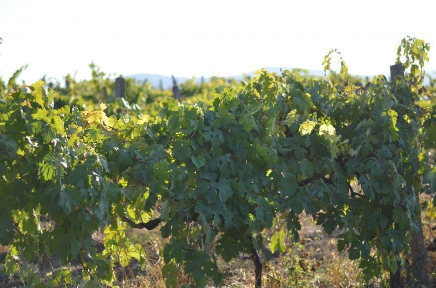 В Крыму прошел праздник урожая и молодого вина (ФОТО), фото-6