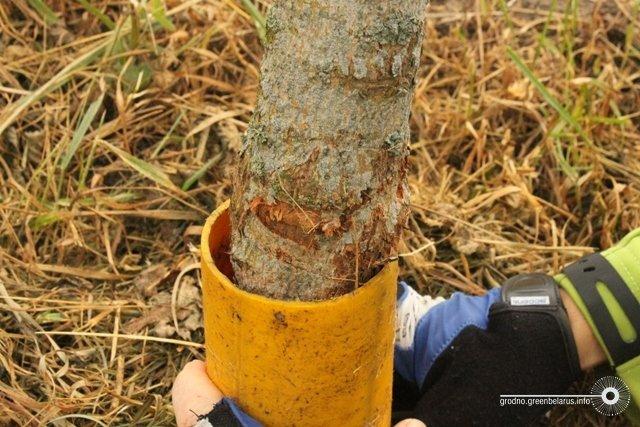Волонтёры просят спасти деревья в центре Гродно, «Гроднозеленстрой» молчит, фото-2