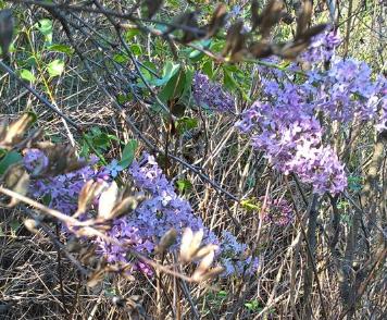 Фотофакт: у Конотопі посеред осені розцвів бузок, фото-1
