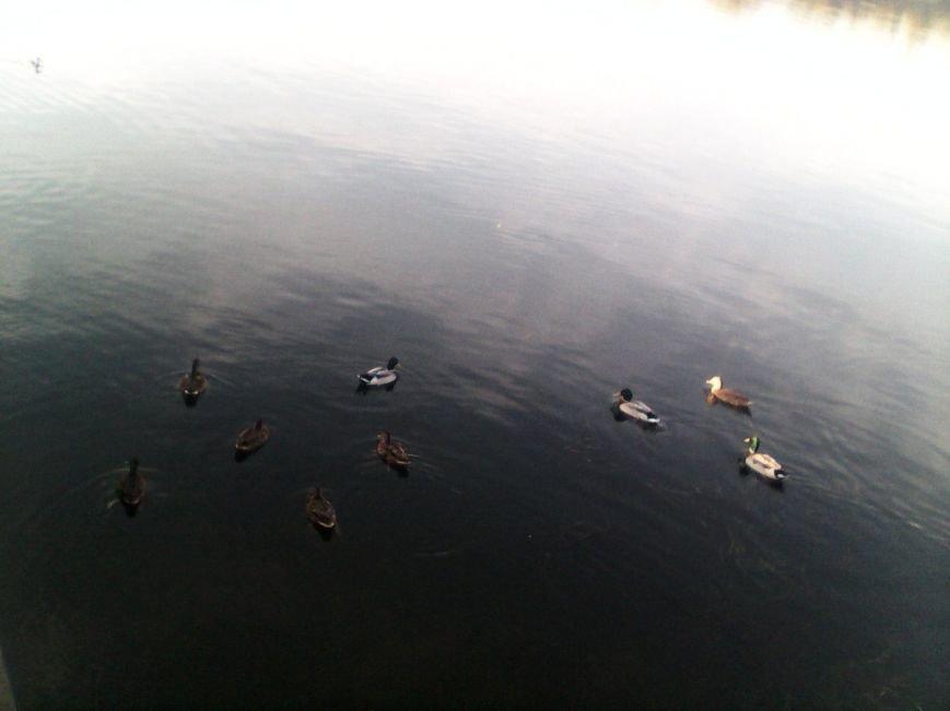 В херсонском Гидропарке завелись ручные утки (фото), фото-2