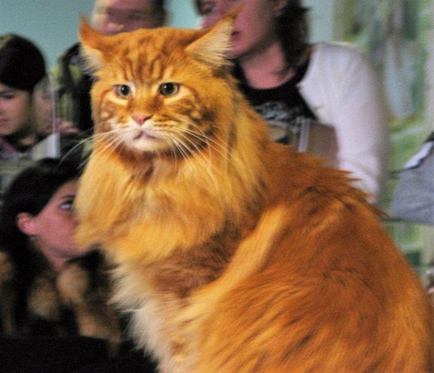 4-летнего Кекса из Днепра выбрали самым большим котом в Украине (ФОТО), фото-1
