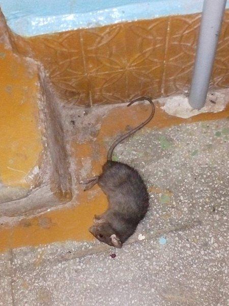 После заваривания мусоропровода жителей многоэтажки в Лиде атаковали крысы, фото-2
