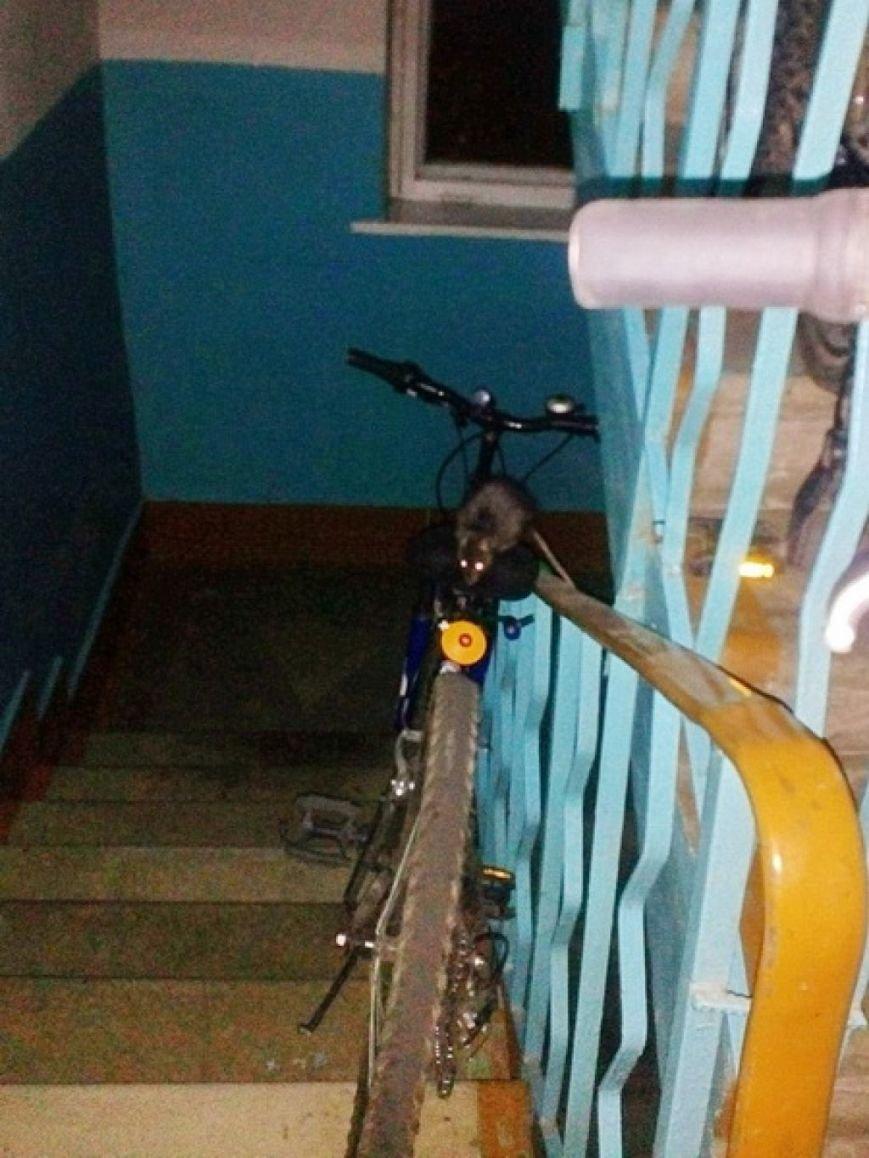 После заваривания мусоропровода жителей многоэтажки в Лиде атаковали крысы, фото-1