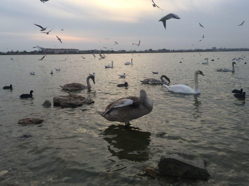 """Евпаторийское озеро превратилось в """"лебединое"""" (ФОТО), фото-9"""