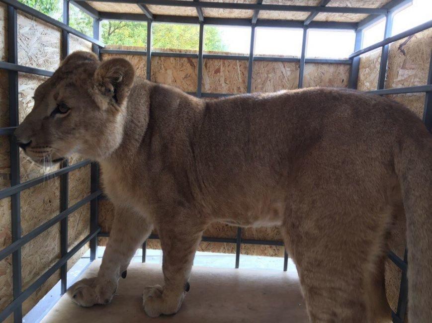 Молодую львицу Лолу из Челябинской области доставили в Крым (ФОТОФАКТ), фото-1
