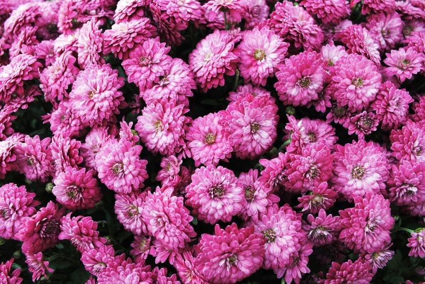 Продолжаем озеленяться: в Кременчуге под зиму высаживают хризантемы, тюльпаны, кусты и деревья (фоторепортаж), фото-11