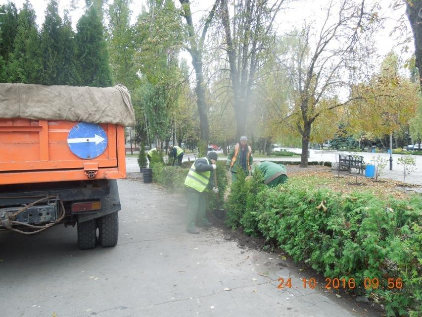Продолжаем озеленяться: в Кременчуге под зиму высаживают хризантемы, тюльпаны, кусты и деревья (фоторепортаж), фото-24