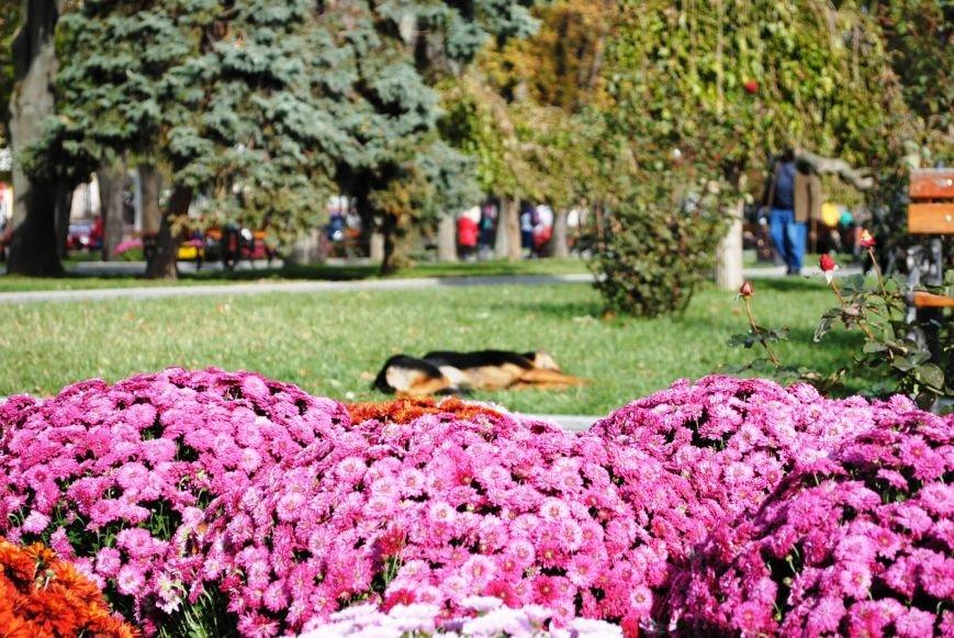 Продолжаем озеленяться: в Кременчуге под зиму высаживают хризантемы, тюльпаны, кусты и деревья (фоторепортаж), фото-6