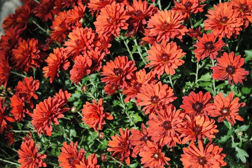 Продолжаем озеленяться: в Кременчуге под зиму высаживают хризантемы, тюльпаны, кусты и деревья (фоторепортаж), фото-12