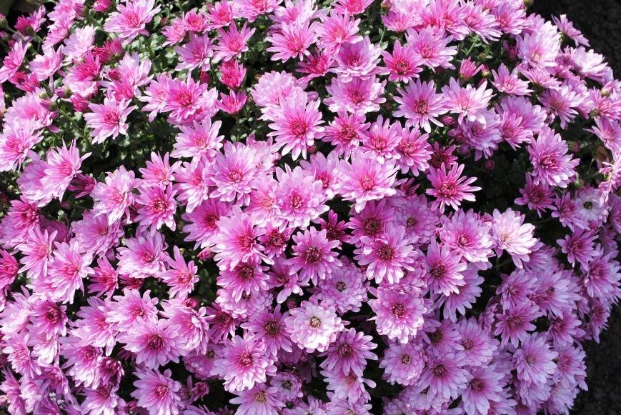 Продолжаем озеленяться: в Кременчуге под зиму высаживают хризантемы, тюльпаны, кусты и деревья (фоторепортаж), фото-9