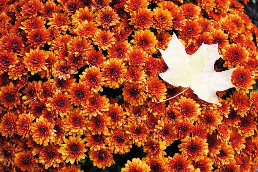 Продолжаем озеленяться: в Кременчуге под зиму высаживают хризантемы, тюльпаны, кусты и деревья (фоторепортаж), фото-19