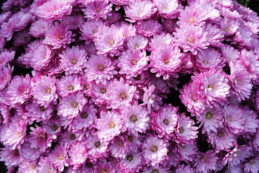 Продолжаем озеленяться: в Кременчуге под зиму высаживают хризантемы, тюльпаны, кусты и деревья (фоторепортаж), фото-3