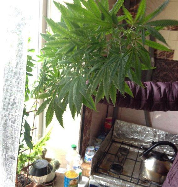 В Кропивницком у мужчины изъяли 10 килограмм марихуаны (ФОТО), фото-7