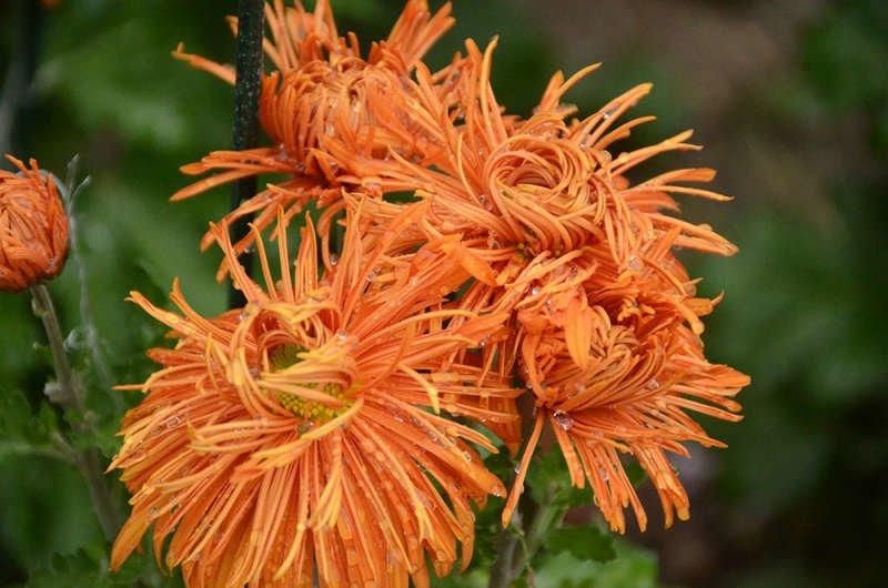 Новая хризантема «Сердце Артека», распустившаяся в Никитском саду, вызывает повышенный интерес публики, фото-2
