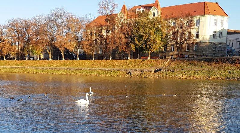 В Ужгород після паводку повернулися лебеді