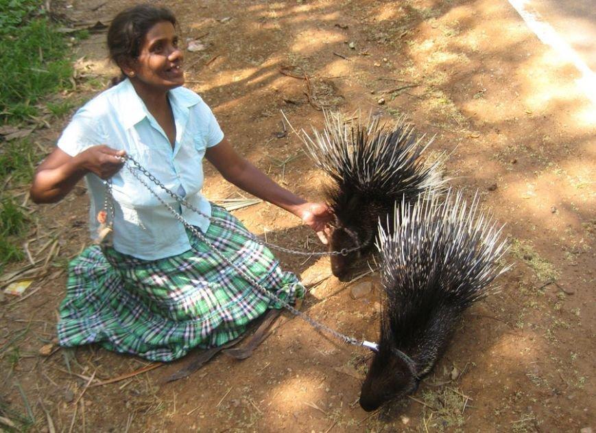 Ручные олени, водные вараны, бродячие слоны Сигирии, дикобразы и летучие мыши Шри-Ланки, фото-5