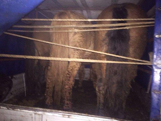 Поліція затримала конотопчанина, який нелегально перевозив коней, фото-3