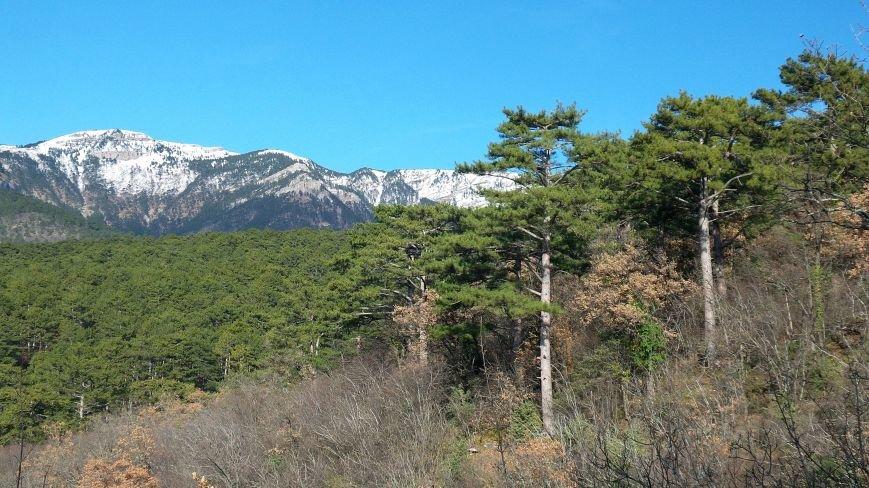 Крымская-сосна.-Высота-300-м-над-уровнем-моря.-Ялтинский-горно-лесной-природный-заповедник.