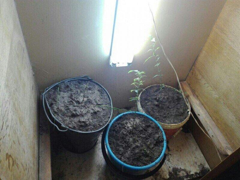 «Зелёная, зелёная трава» . Вартовчанин выращивал дома коноплю, фото-1