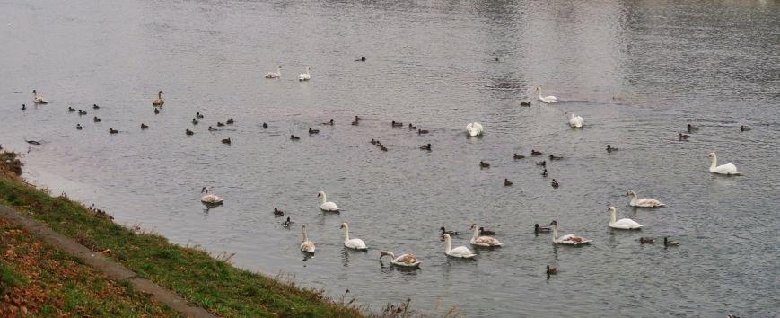 В Ужгороді на Ужі - 25 лебедів: фото, фото-1