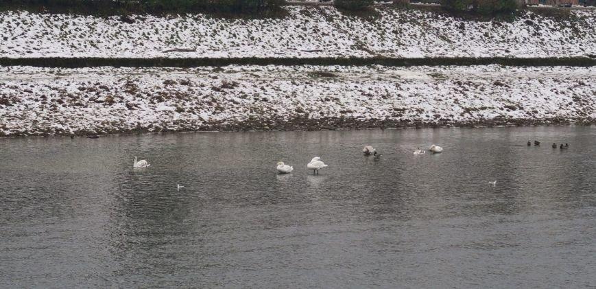 В Ужгороді на Ужі - 25 лебедів: фото, фото-3
