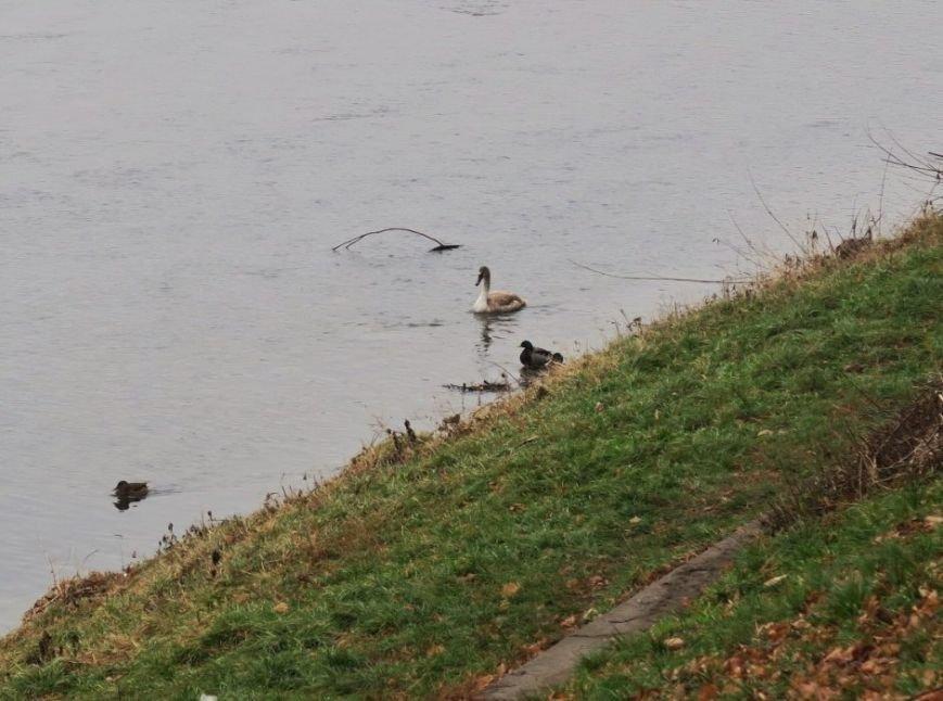 В Ужгороді на Ужі - 25 лебедів: фото, фото-4