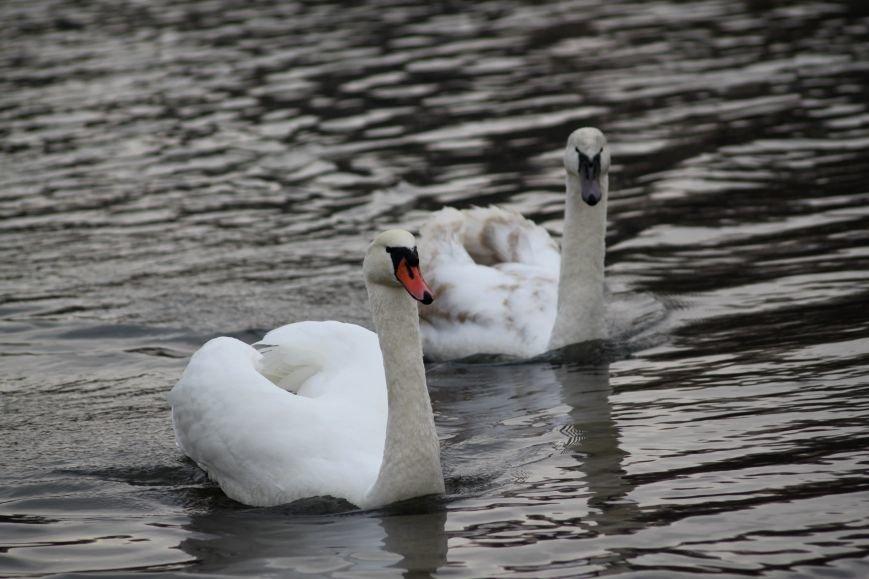 «Нашестя» лебедів в Ужгороді: реакція городян, яскраві фото та думка експерта (РЕПОРТАЖ), фото-17
