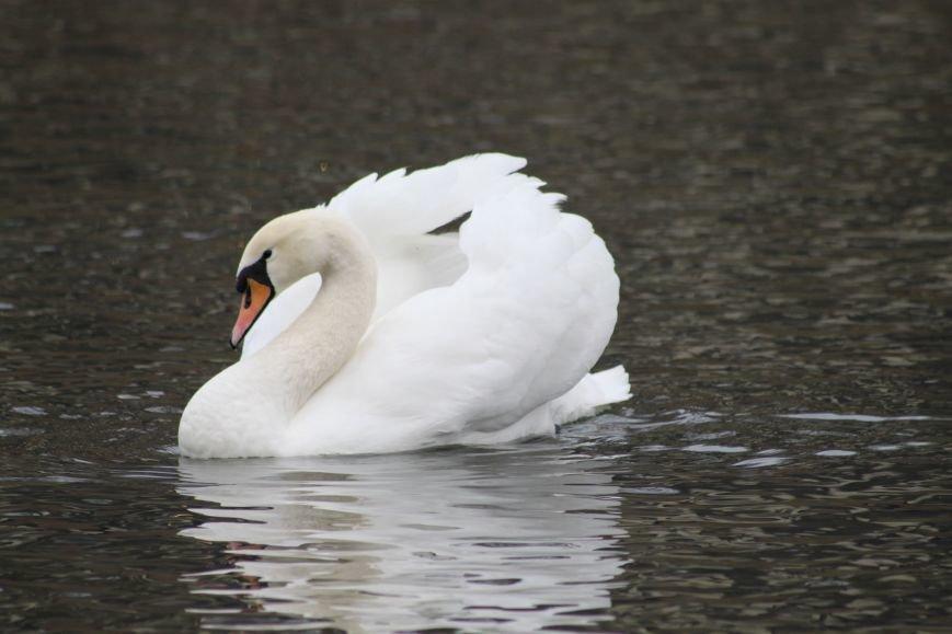 «Нашестя» лебедів в Ужгороді: реакція городян, яскраві фото та думка експерта (РЕПОРТАЖ), фото-16