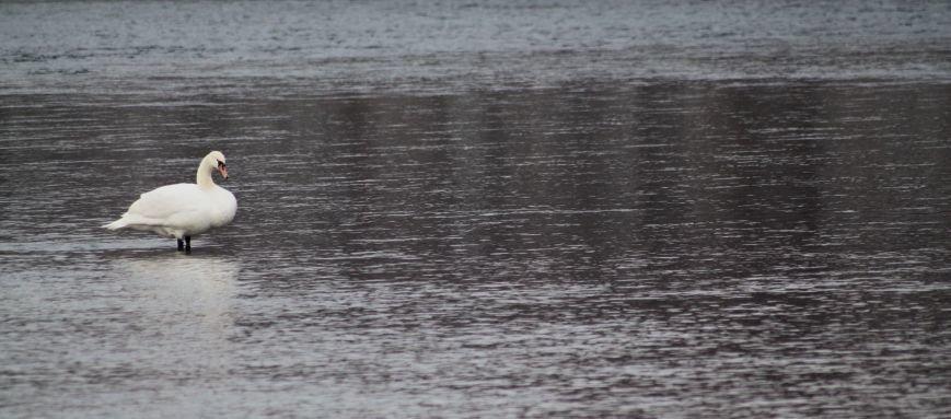 «Нашестя» лебедів в Ужгороді: реакція городян, яскраві фото та думка експерта (РЕПОРТАЖ), фото-3
