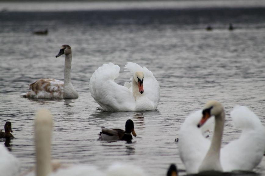 «Нашестя» лебедів в Ужгороді: реакція городян, яскраві фото та думка експерта (РЕПОРТАЖ), фото-1