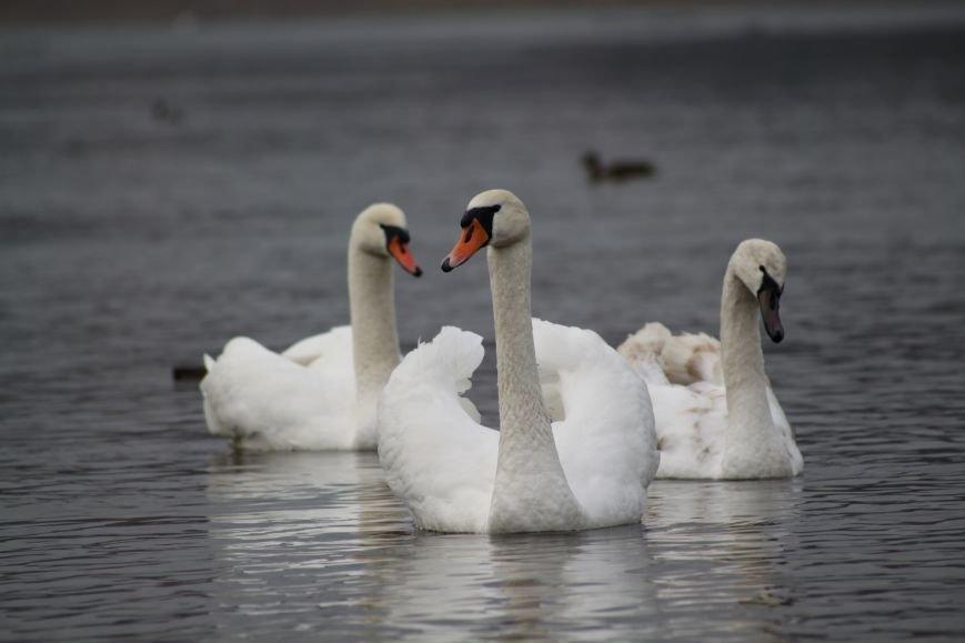 «Нашестя» лебедів в Ужгороді: реакція городян, яскраві фото та думка експерта (РЕПОРТАЖ), фото-29