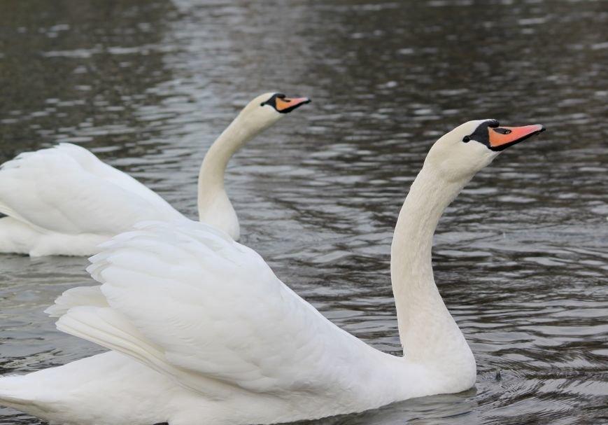 «Нашестя» лебедів в Ужгороді: реакція городян, яскраві фото та думка експерта (РЕПОРТАЖ), фото-9