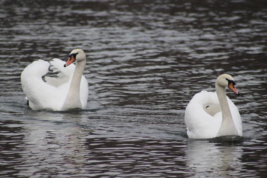 «Нашестя» лебедів в Ужгороді: реакція городян, яскраві фото та думка експерта (РЕПОРТАЖ), фото-26
