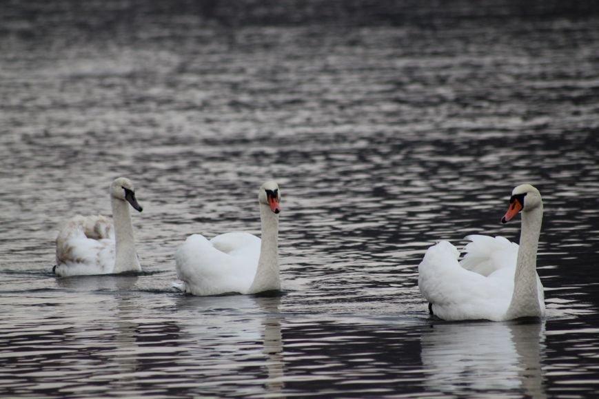 «Нашестя» лебедів в Ужгороді: реакція городян, яскраві фото та думка експерта (РЕПОРТАЖ), фото-4