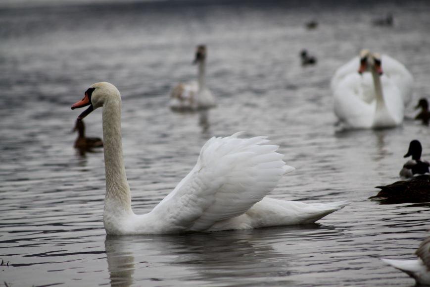 «Нашестя» лебедів в Ужгороді: реакція городян, яскраві фото та думка експерта (РЕПОРТАЖ), фото-21