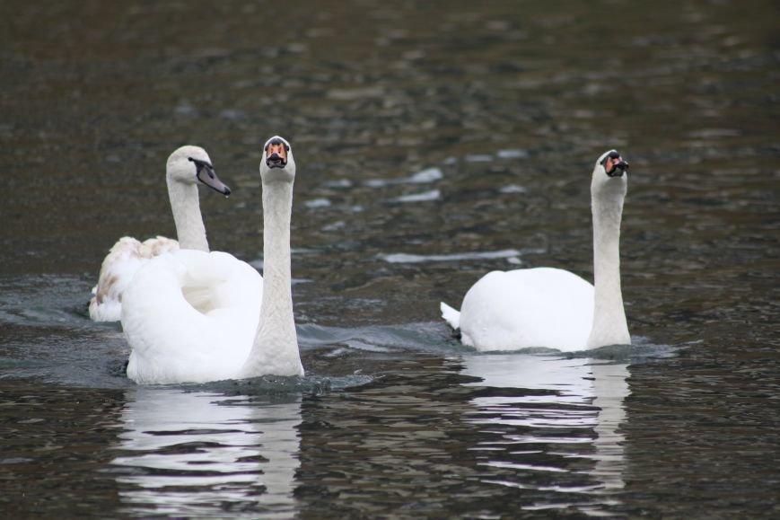«Нашестя» лебедів в Ужгороді: реакція городян, яскраві фото та думка експерта (РЕПОРТАЖ), фото-28